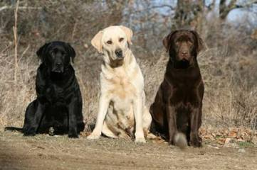 3 LAB DOGS ONE BLK AND ONE YELLOW AND BROWN 2015