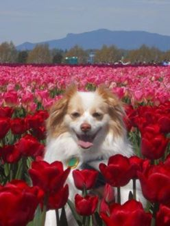 DOG IN RED AND PINK TULIPS