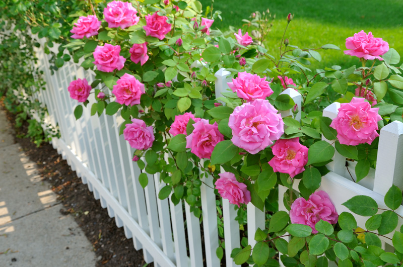 Garden-Fence-Pink-Roses-01     03 09 2016