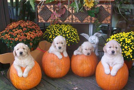 4-golden-labs-in-pumpkins-copy-3