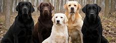 labordors-3-dogs-09-18-15